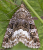 [73.024 Deltote pygarga<BR>Marbled White Spot 2017-06-11*<BR>first seen 2007]